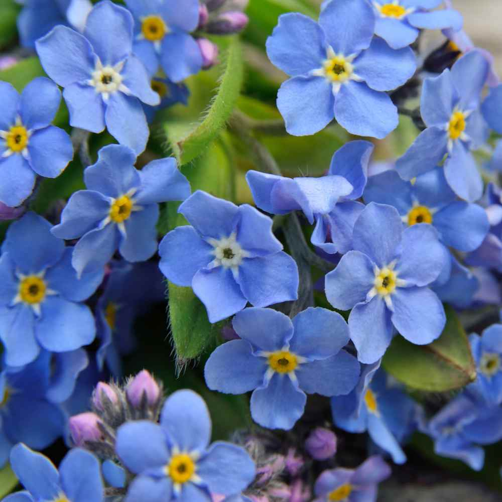Forget-Me-Not Flower Seed