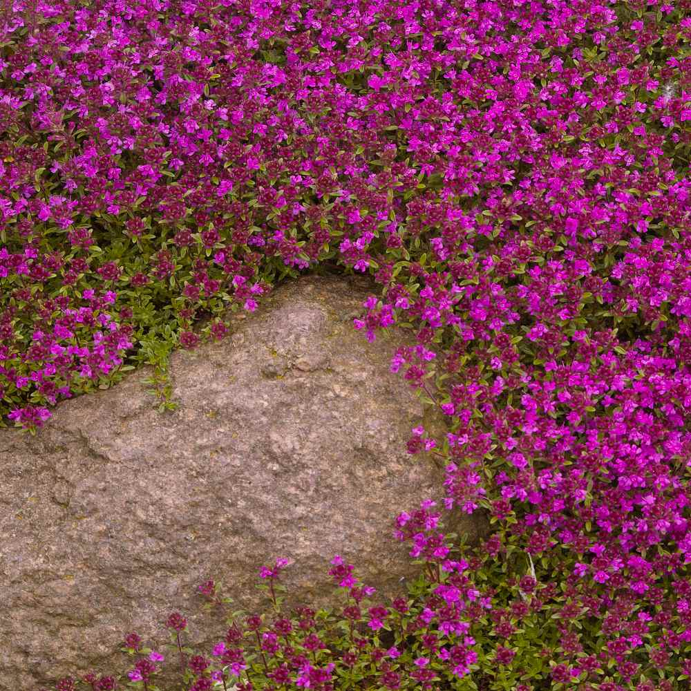 Creeping Thyme Seed Thymus Serpyllum Magic Carpet Ground Cover Seeds