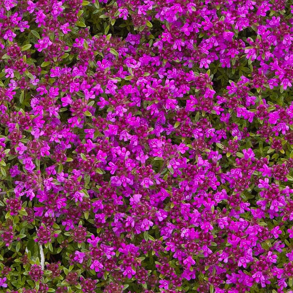 Creeping Thyme Groundcovers