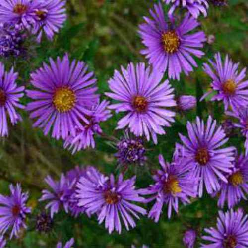New England Aster Wild Flower Seed
