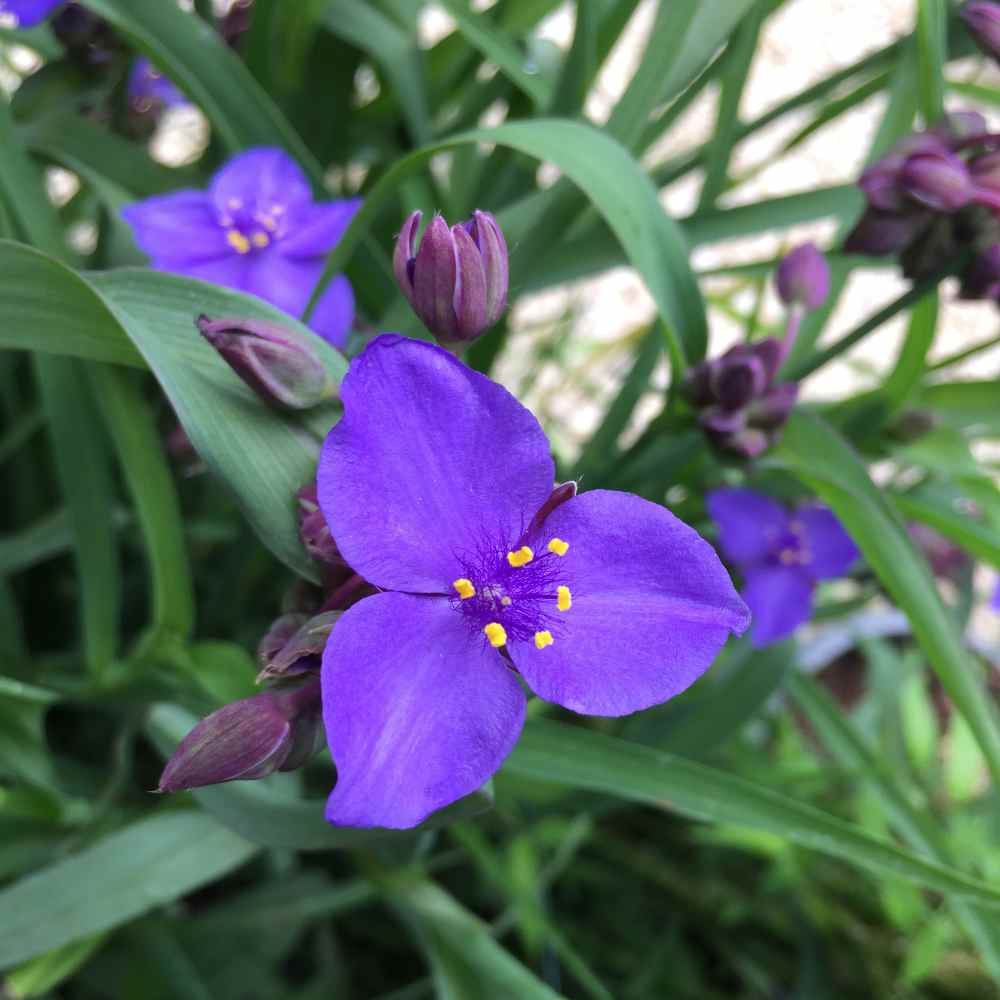 Tradescantia Ohiensis Flowers
