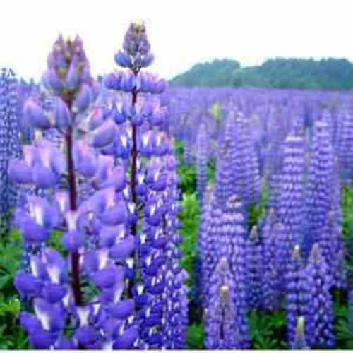 Lupine seed lupinus perennis wild blue lupine wild flower seeds perennial lupine wildflowers mightylinksfo