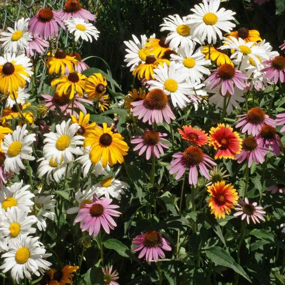 20 Perennial Climbing Snapdragon Asarina Species Formula Mix Flower Seeds
