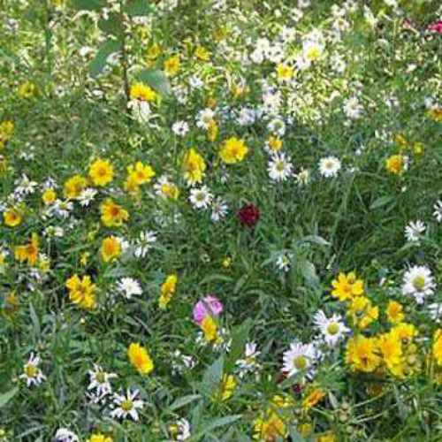 Rock Garden Perennial Wild Flower Seed Mix