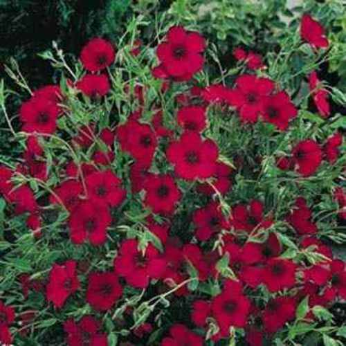 Scarlet Flax Wild Flower Seed