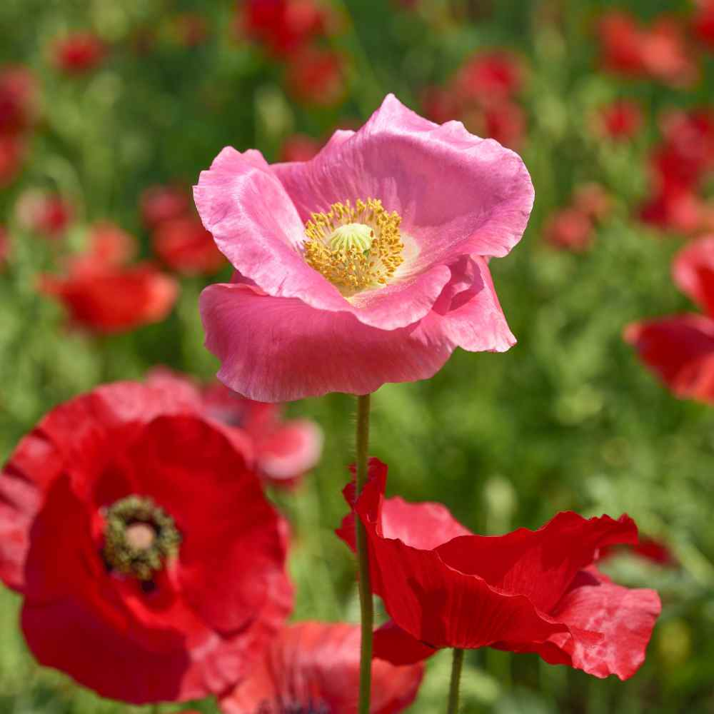 Shirley Poppy Wildflower Seed