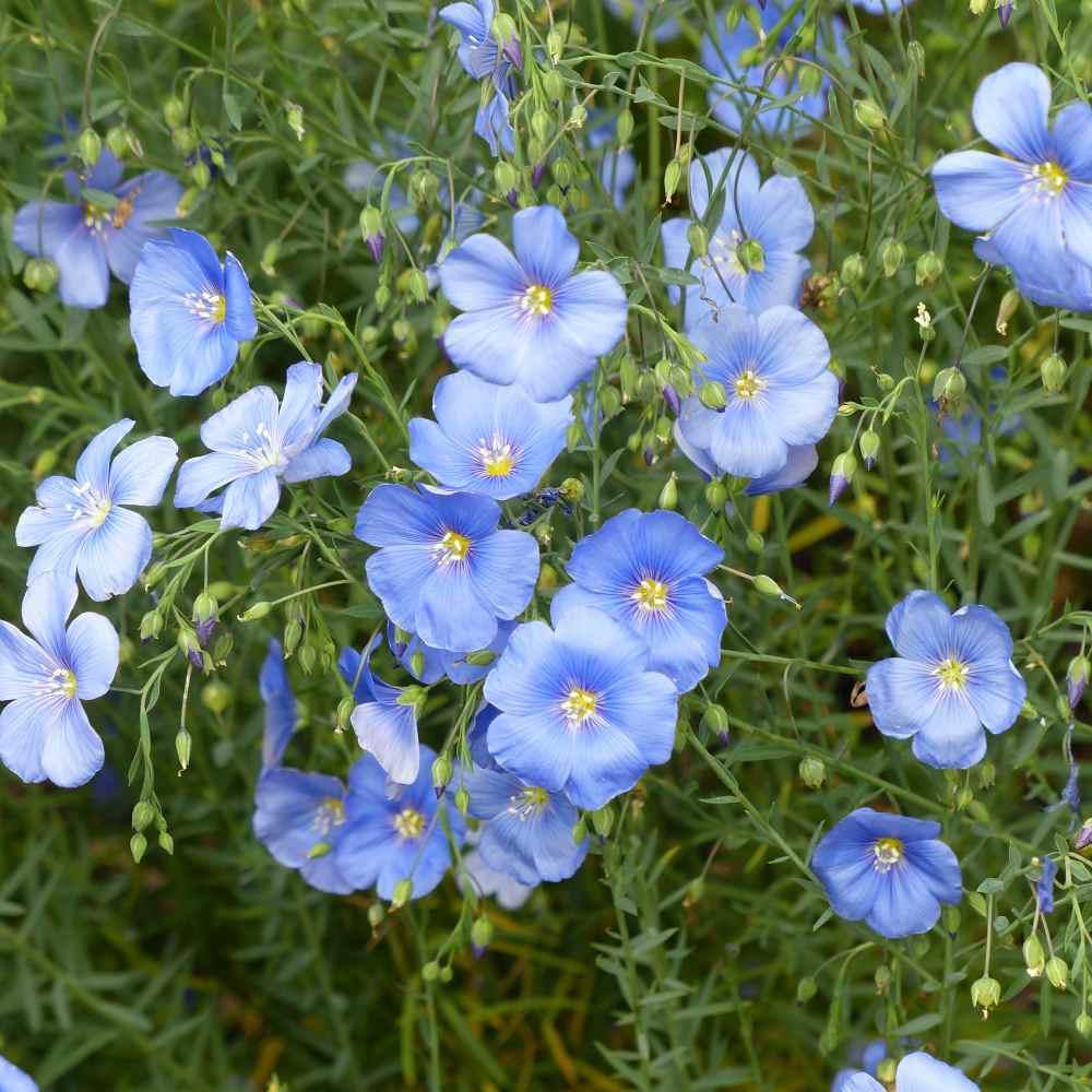 Linum Usitatissimum Sky Blue Flax Seeds Flower Seeds