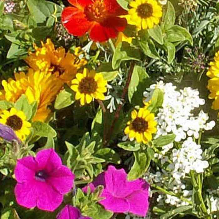 Annual Short Wild Flower Seed Mix