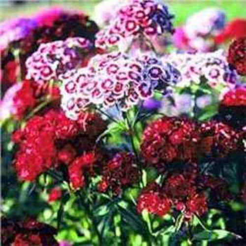 Sweet William Wild Flower Seed