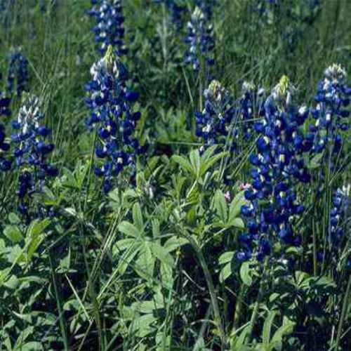 Texas Bluebonnet Wildflower Seed