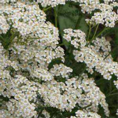 Yarrow seed white yarrow wildflower seeds white yarrow wild flower seed mightylinksfo
