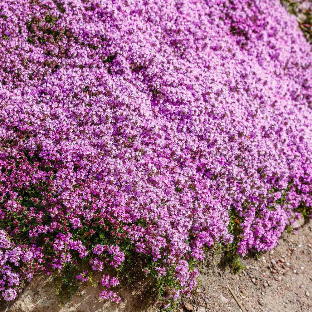 Creeping Thyme Seeds Thymus Serpyllum, Creeping Jenny Ground Cover Seeds
